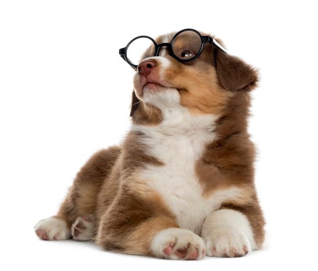 Mądry owczarek australijski szczeniak w okularach leżącej i patrząc w górę na białym tle