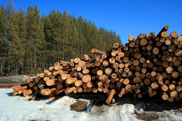 Magazynowe ścięte sosny i sosnowy las