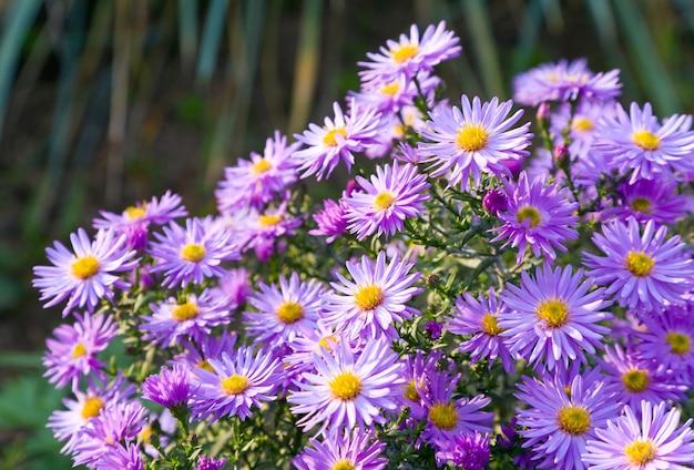 Magenta aster kwiaty w jesiennym parku (tło sezonowe)