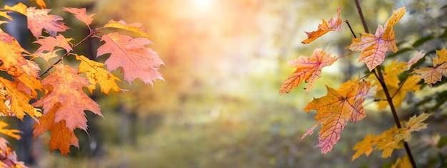 Magiczna jesień. jesienny widok z kolorowymi jesiennymi liśćmi na drzewach na rozmytym tle w lesie w świetle wieczornego słońca