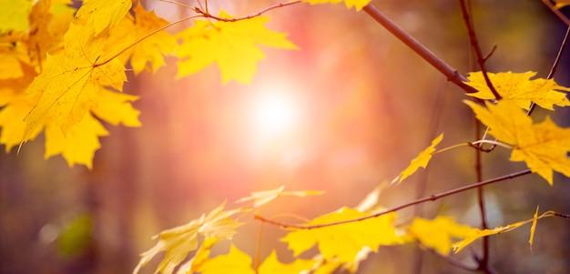Magiczny jesienny las z żółtymi liśćmi klonu na drzewie wieczorem zachód słońca, zachód słońca w jesiennym lesie