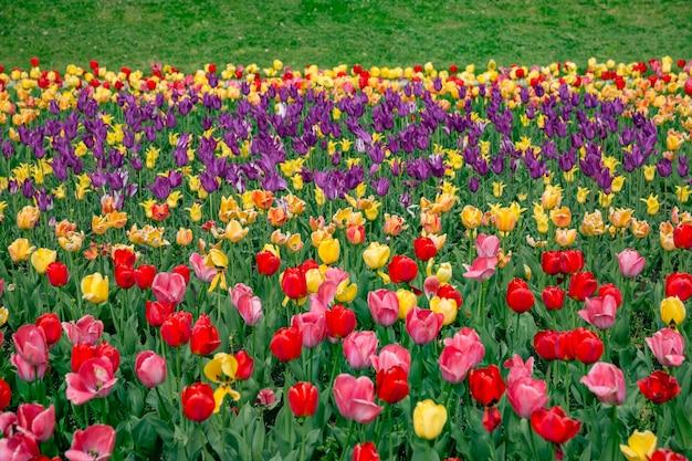 Magiczny krajobraz o wschodzie słońca nad polem tulipanów w holandii
