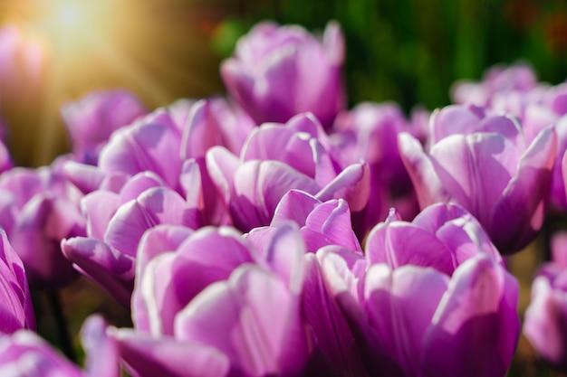 Magiczny krajobraz z fantastycznym pięknym polem tulipanów w holandii na wiosnę. kwitnące wielobarwne holenderskie pola tulipanów w holenderskim krajobrazie holland. koncepcja podróży i wakacji. selektywna ostrość.