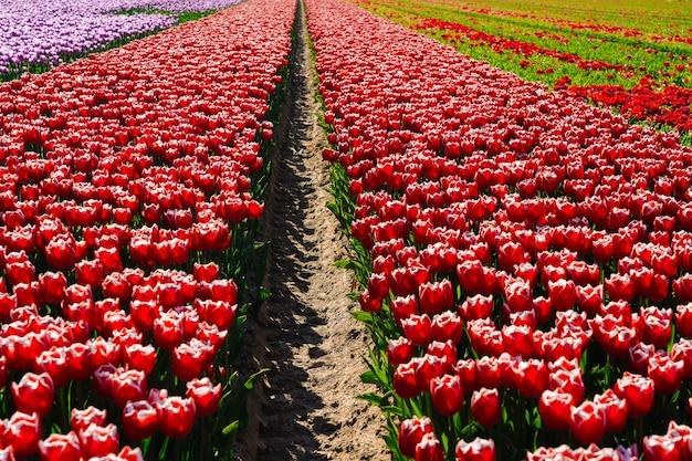 Magiczny krajobraz z fantastycznym pięknym polem tulipanów w holandii na wiosnę. kwitnące wielokolorowe holenderskie pola tulipanów w holenderskim krajobrazie holland. koncepcja podróży i wakacji. selektywna ostrość.