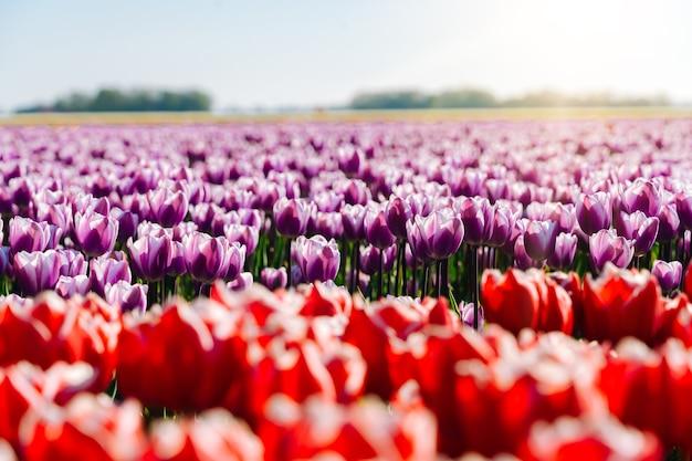 Magiczny krajobraz z fantastycznym pięknym polem tulipanów w holandii na wiosnę