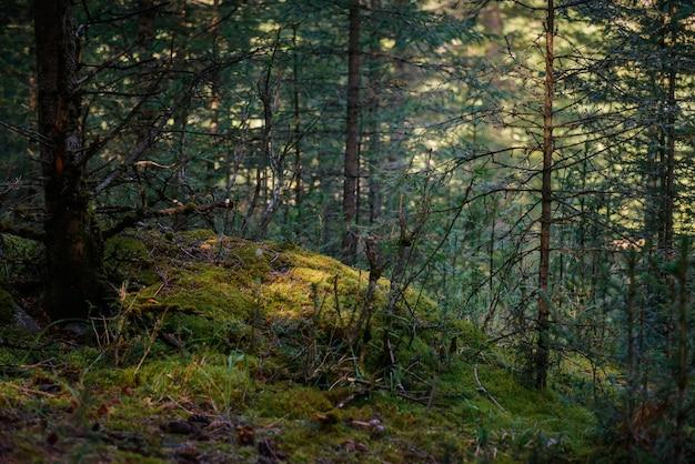 Magiczny las iglasty w słoneczny letni dzień, piękne naturalne tło
