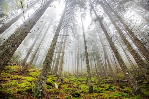 Magiczny mglisty las. piękne naturalne krajobrazy.