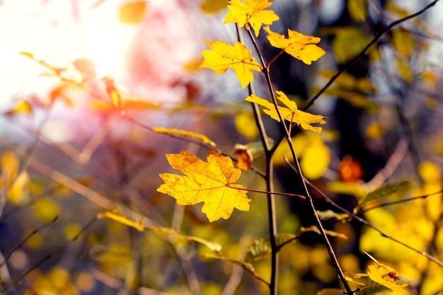 Magiczny zakątek jesiennego lasu z żółtymi liśćmi klonu przy słonecznej pogodzie