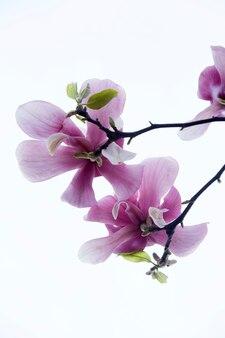 Magnolia fioletowe kwiaty. zamknij zdjęcie. białe tło