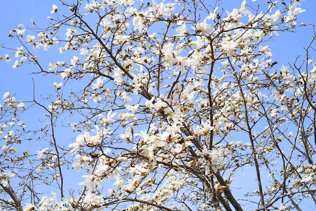 Magnolia kobus mokryeon kwitnąca wiosną na dalekim wschodzie rosji
