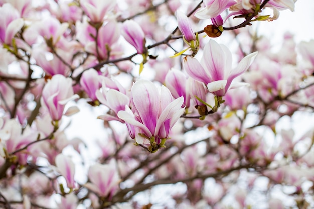Magnolia kwitnie wiosną