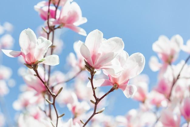 Magnolia różowy kwiat drzewa kwiaty, bliska gałąź