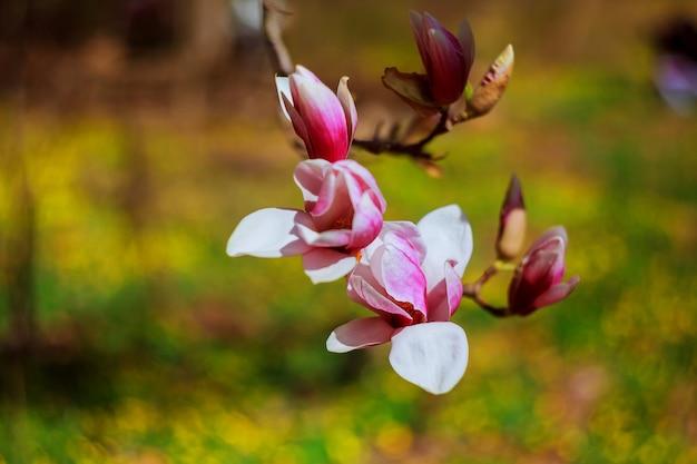 Magnoliowy okwitnięcie w goodale parku w kolumb, ohio