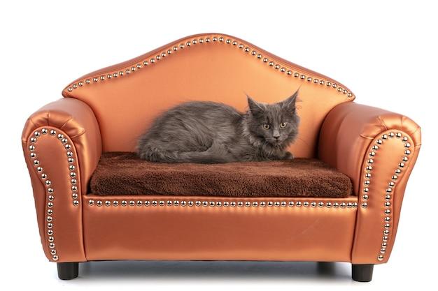 Maine coon kociak na małej kanapie na białym tle