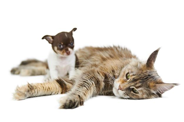 Maine coon kot i szczeniak chihuahua, na białym tle. mały słodki piesek i uroczy dorosły kot maine-coon szylkret. schronisko dla szczeniąt i kociąt