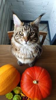 Maine coon kot siedzi na stole w kuchni obok dojrzałych pomarańczowych dyń, halloween lub koncepcja dziękczynienia