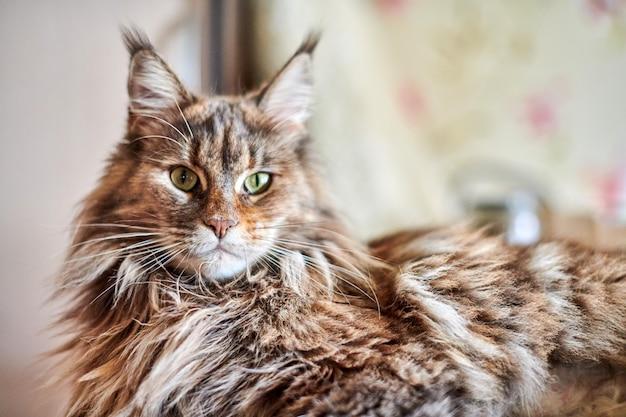 Maine coon kot, z bliska. zabawny, słodki kot w marmurowym kolorze futra. największe udomowione rasy kotów. nieostrość.