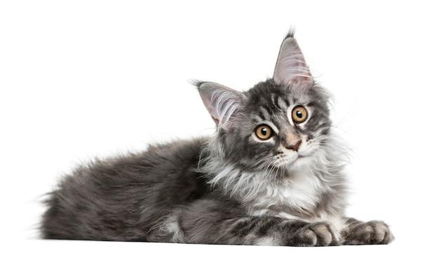 Maine coon kotek przed białą ścianą