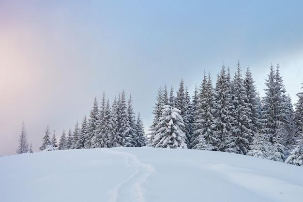 Majestatyczne białe świerki świecące światłem słonecznym. malownicza i cudowna zimowa scena.