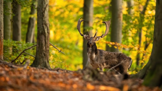 Majestatyczny jeleń stojący w lesie jesienią