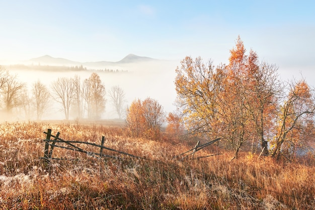 Majestatyczny krajobraz z jesiennymi drzewami w mglistym lesie. karpacki, ukraina, europa. świat piękna.
