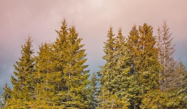 Majestatyczny las sosnowy we mgle w górskiej dolinie. dramatyczna i malownicza scena poranna. karpaty, ukraina, europa. piękny światowy krajobraz górski na różowym tle nieba
