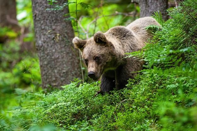 Majestatyczny niedźwiedź brunatny stojący w jagodach w okresie letnim.