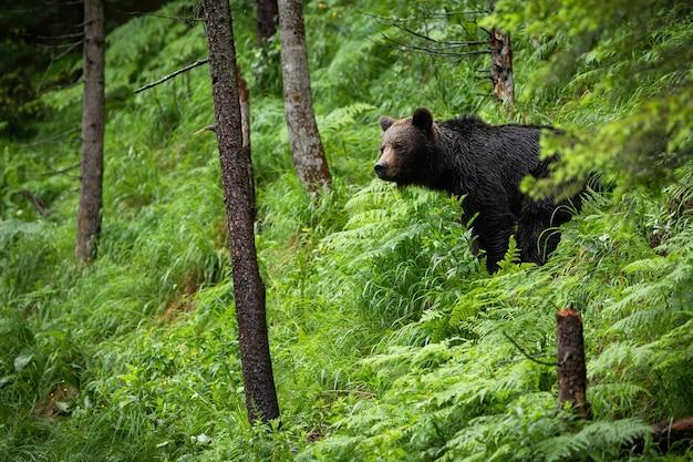 Majestatyczny niedźwiedź brunatny stojący w lesie