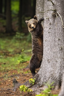 Majestatyczny niedźwiedź brunatny, wspinaczka na drzewo w lesie