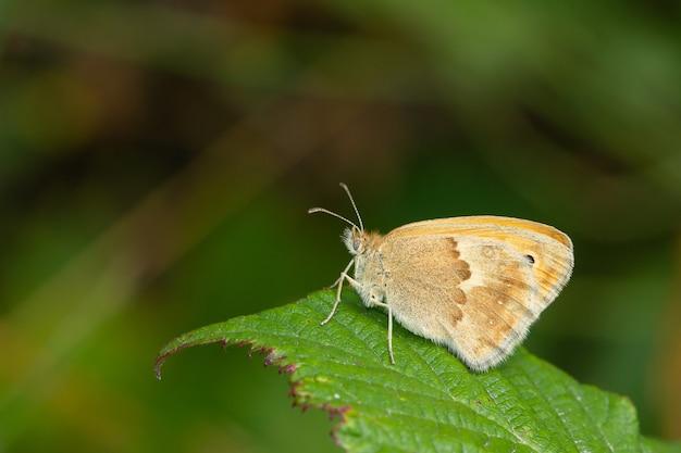 Majestatyczny strzał motyla small heath na liściach liści