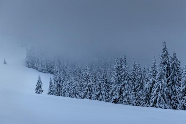 Majestatyczny zimowy krajobraz, las sosnowy z drzewami pokrytymi śniegiem. dramatyczna scena z niskimi czarnymi chmurami, cisza przed burzą