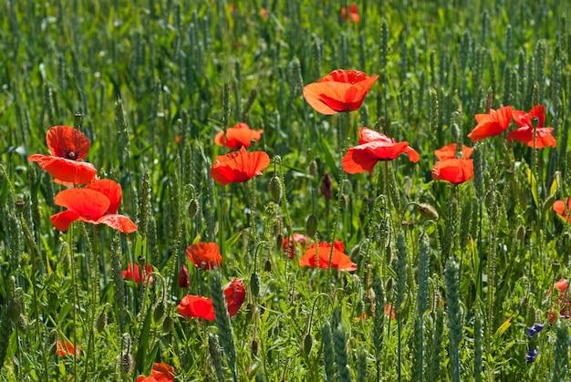 Mak na polu zielonej pszenicy
