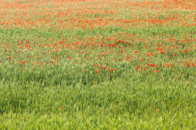 Mak w polu - kwitnący czerwony mak rosnący na polach uprawnych, na których uprawia się pszenicę