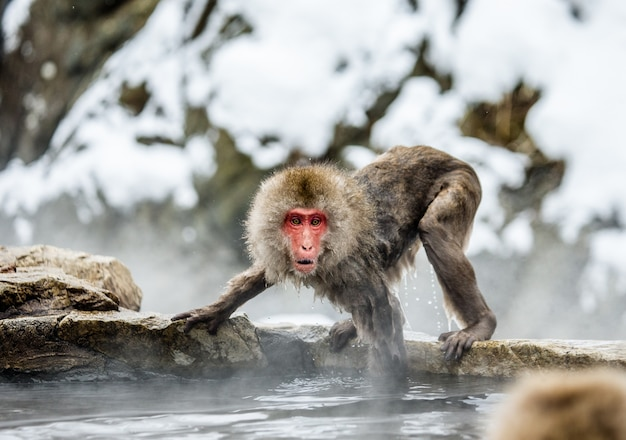 Makak japoński na skałach w pobliżu gorących źródeł. japonia. nagano. jigokudani monkey park.