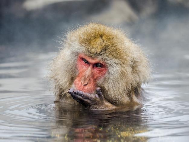 Makak japoński siedzi w wodzie w gorącym źródle. japonia. nagano. jigokudani monkey park.