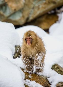 Makak japoński stoi na tylnych łapach w śniegu. japonia. nagano. jigokudani monkey park.