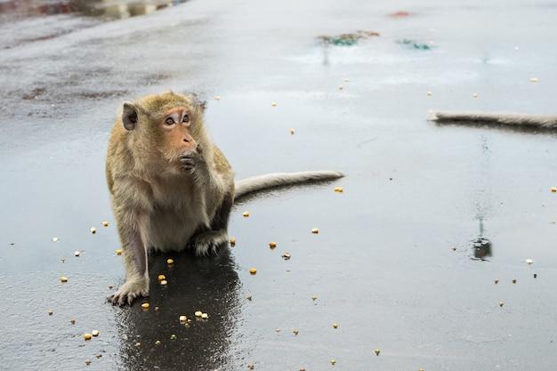 Makak małpa ogryza na kukurydzanych ziarnach w kambodża