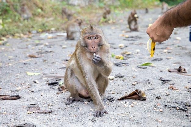 Makak małpa siedzi na kamieniu z bliska