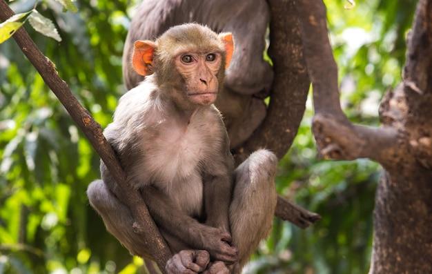 Makak rezus małpa lub naczelne lub małpy człekokształtne lub macaca lub mullata siedzące na drzewie