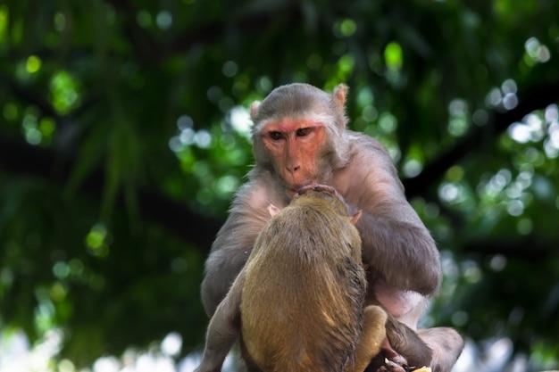 Makak rezus to znajome brązowe naczelne lub małpy siedzące pod drzewem
