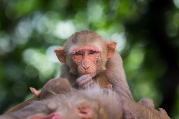 Makak rezus to znane brązowe naczelne lub małpy człekokształtne z czerwonymi twarzami i tyłami