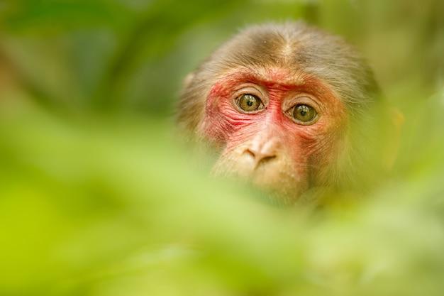 Makak z czerwoną twarzą w zielonej dżungli dzika małpa w pięknej indyjskiej dżungli