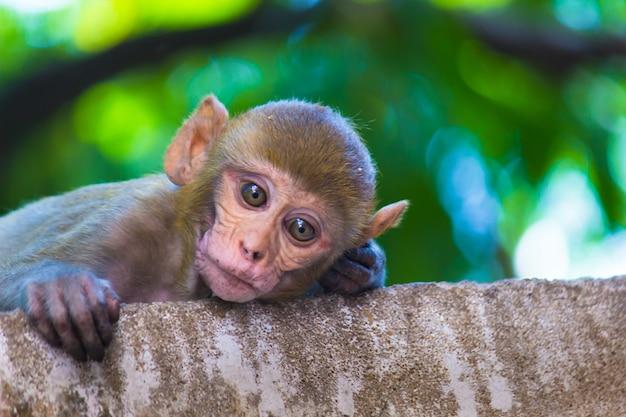 Makaki rezus to znane brązowe naczelne lub małpy człekokształtne lub macaca lub mullata z czerwonymi twarzami