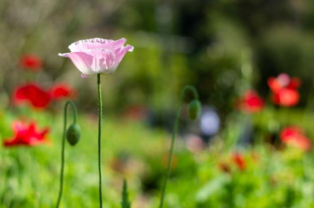 Maki kwitnące w ogrodzie.