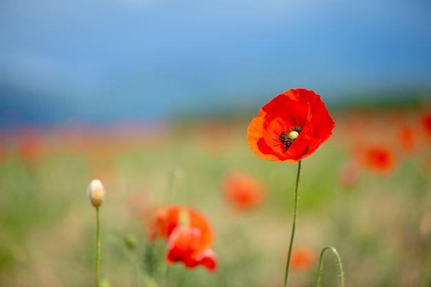 Makowy kwiat w polu