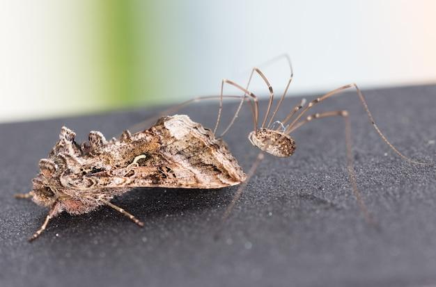 Makro ćmy zaatakowanej przez pająka