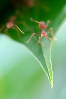 Makro czerwona mrówka gotowa do walki