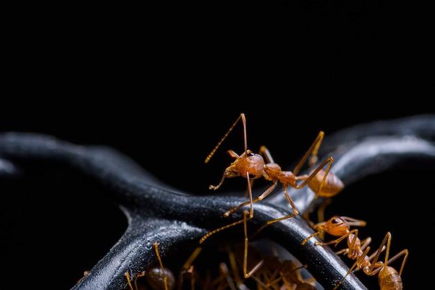 Makro czerwona mrówka lub oecophylla smaragdina, naturalna czarna ściana