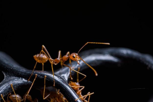 Makro czerwona mrówka lub oecophylla smaragdina, naturalny czarny
