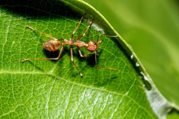 Makro czerwona mrówka na zielonym liściu w przyrodzie w tajlandii